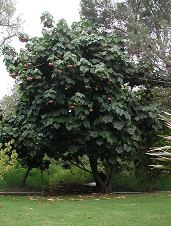 dombeya african wedding blossom tree wordreference forums